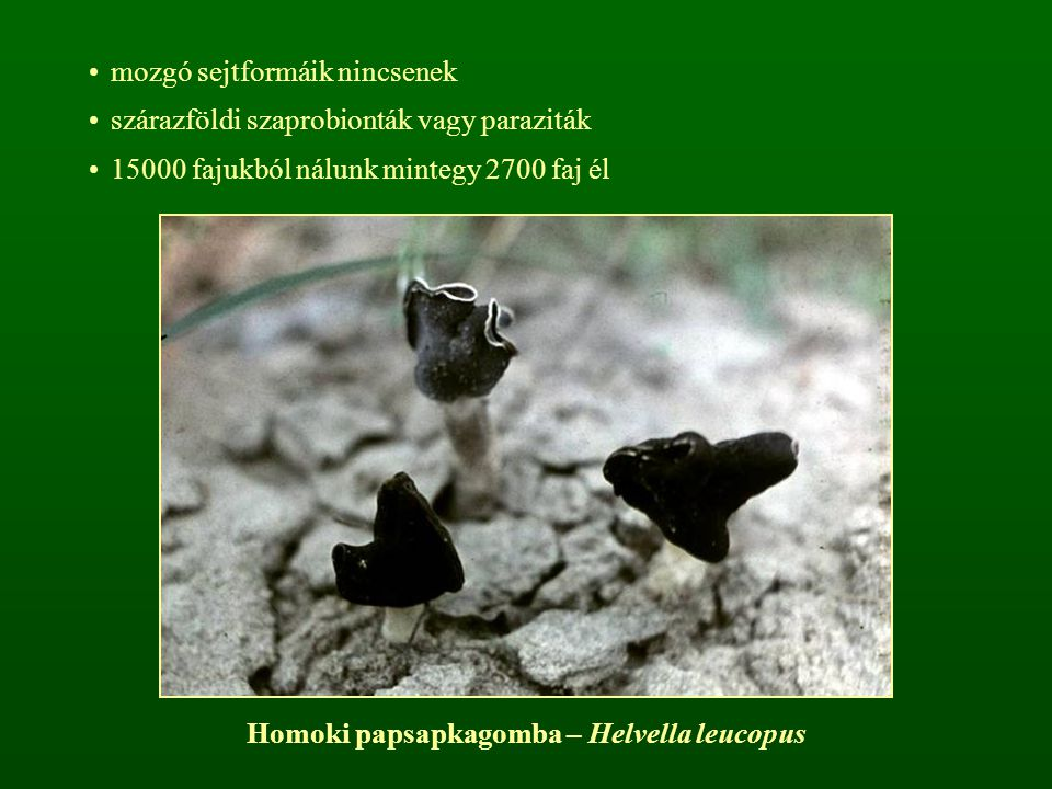 Homoki papsapkagomba – Helvella leucopus