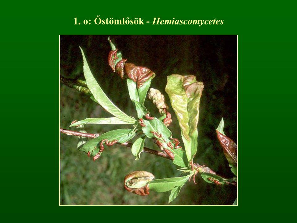 1. o: Őstömlősök - Hemiascomycetes