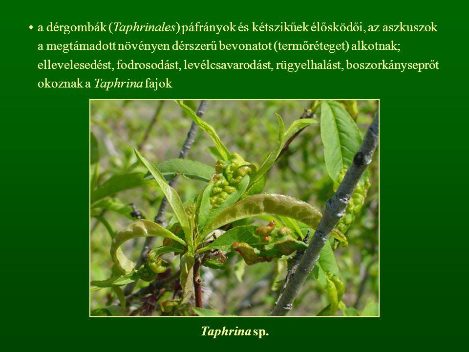 a dérgombák (Taphrinales) páfrányok és kétszikűek élősködői, az aszkuszok a megtámadott növényen dérszerű bevonatot (termőréteget) alkotnak; ellevelesedést, fodrosodást, levélcsavarodást, rügyelhalást, boszorkányseprőt okoznak a Taphrina fajok