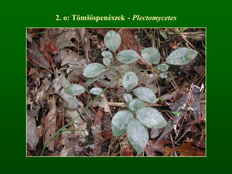 2. o: Tömlőspenészek - Plectomycetes