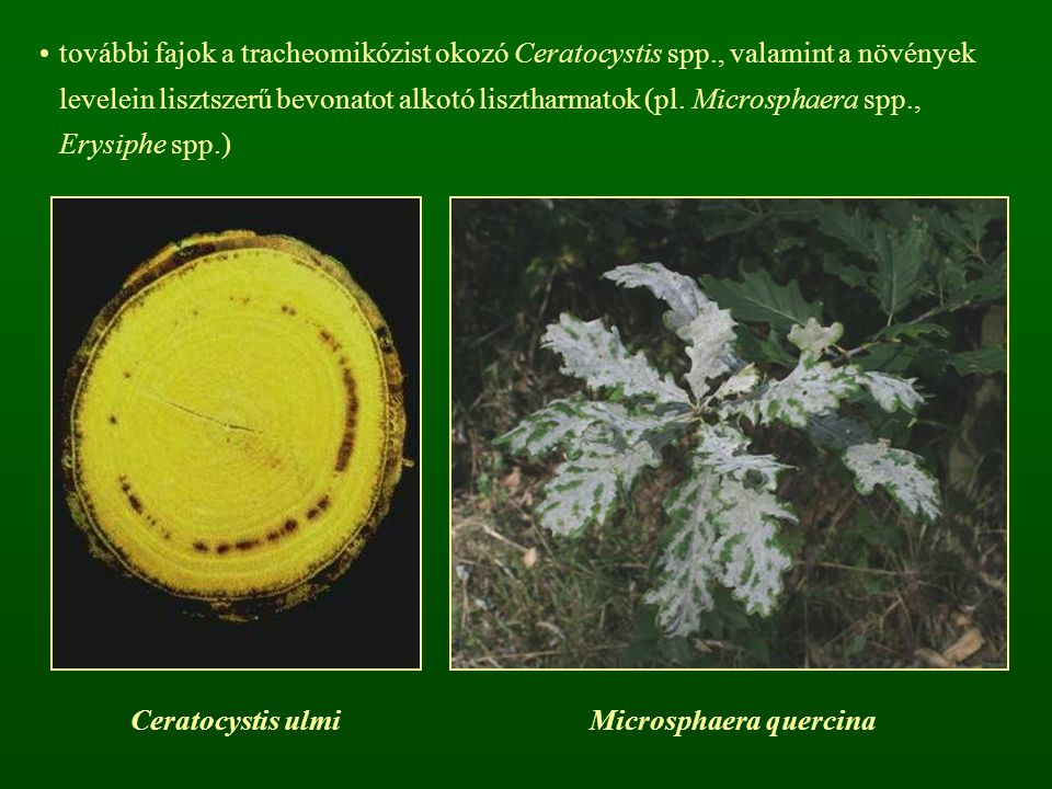 Microsphaera quercina