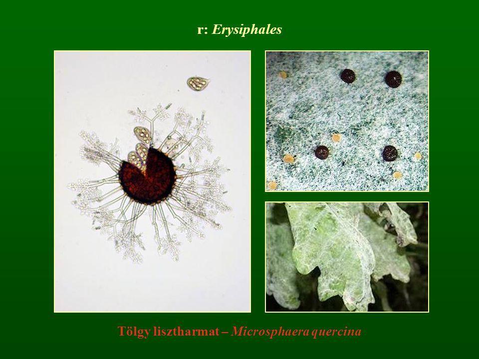 Tölgy lisztharmat – Microsphaera quercina