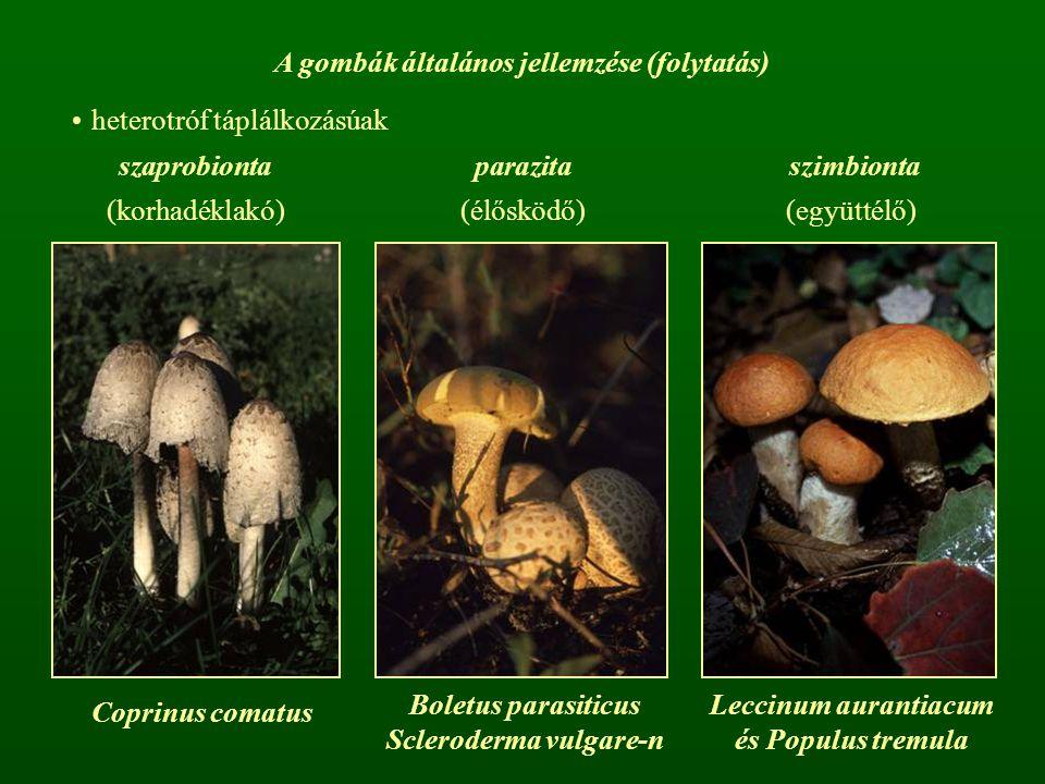 A gombák általános jellemzése (folytatás) Scleroderma vulgare-n