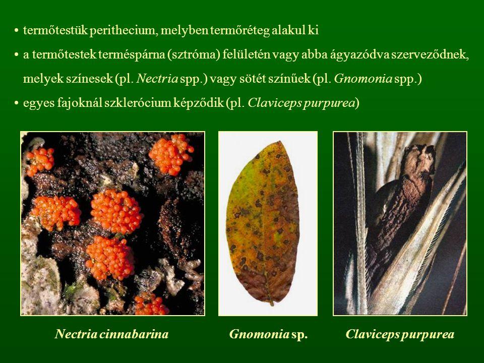 termőtestük perithecium, melyben termőréteg alakul ki