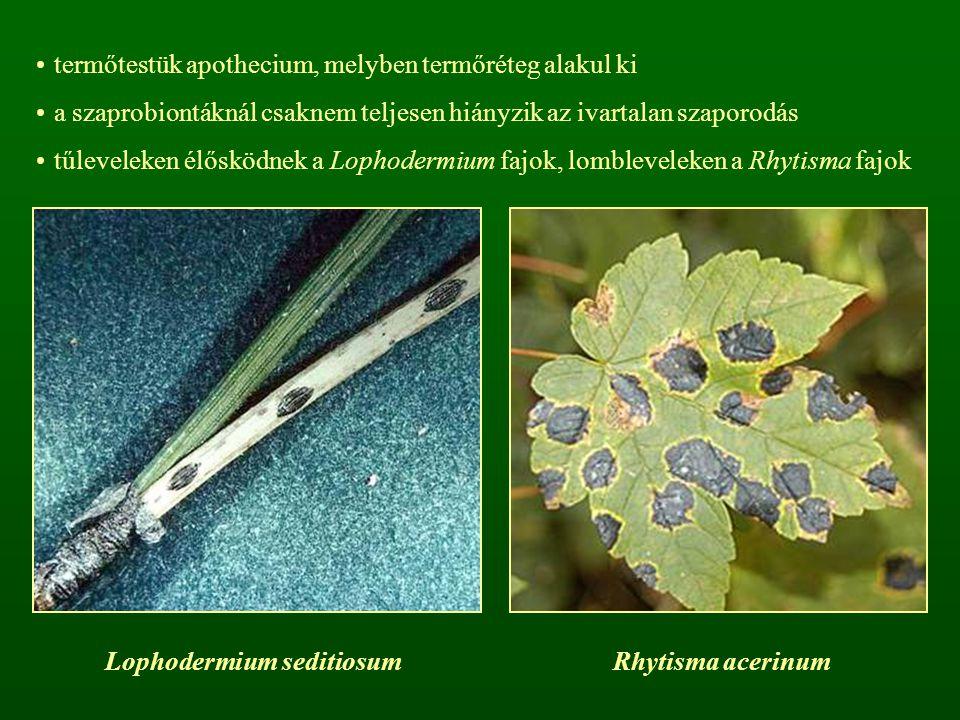 Lophodermium seditiosum