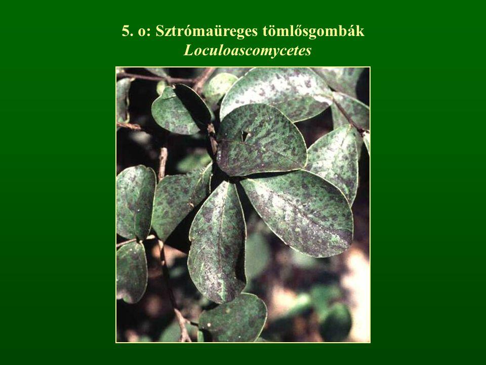 5. o: Sztrómaüreges tömlősgombák Loculoascomycetes