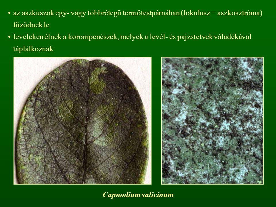 az aszkuszok egy- vagy többrétegű termőtestpárnában (lokulusz = aszkosztróma) fűződnek le