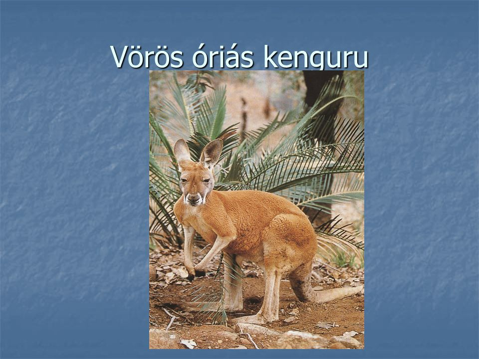 Vörös óriás kenguru