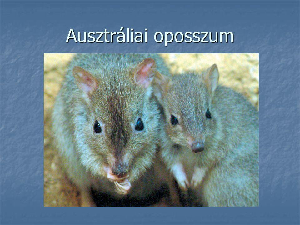 Ausztráliai oposszum