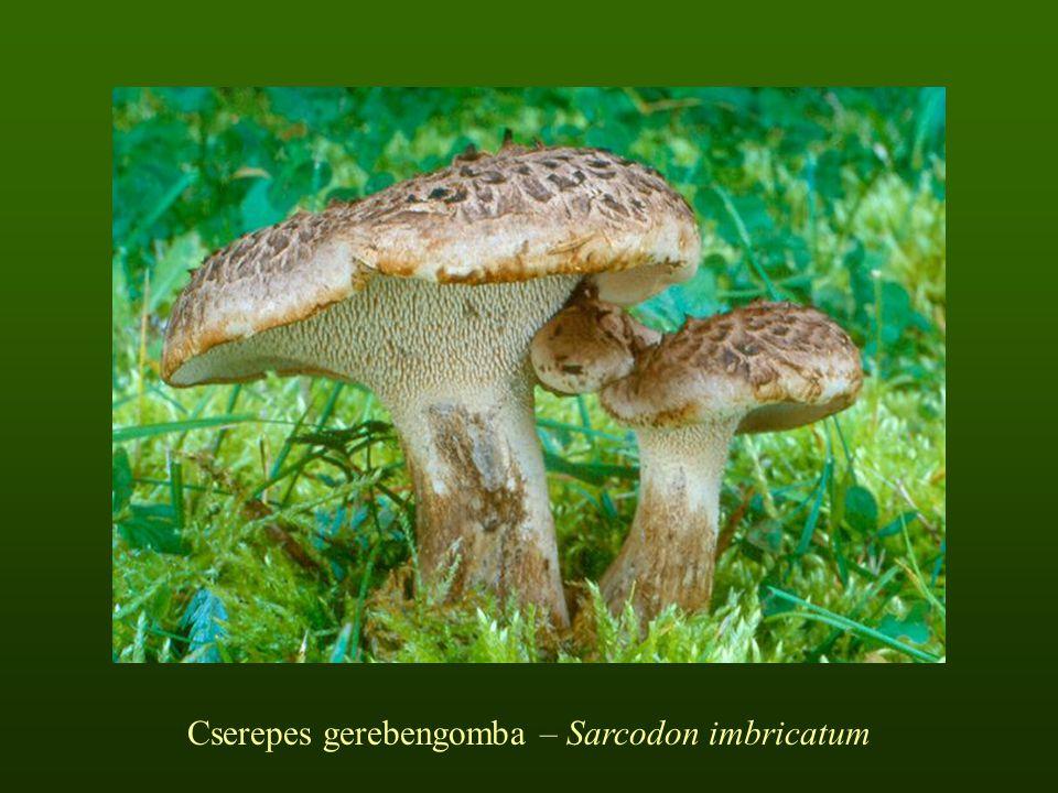 Cserepes gerebengomba – Sarcodon imbricatum
