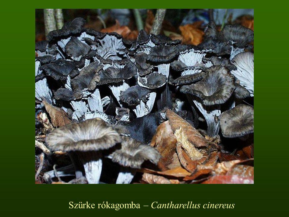 Szürke rókagomba – Cantharellus cinereus