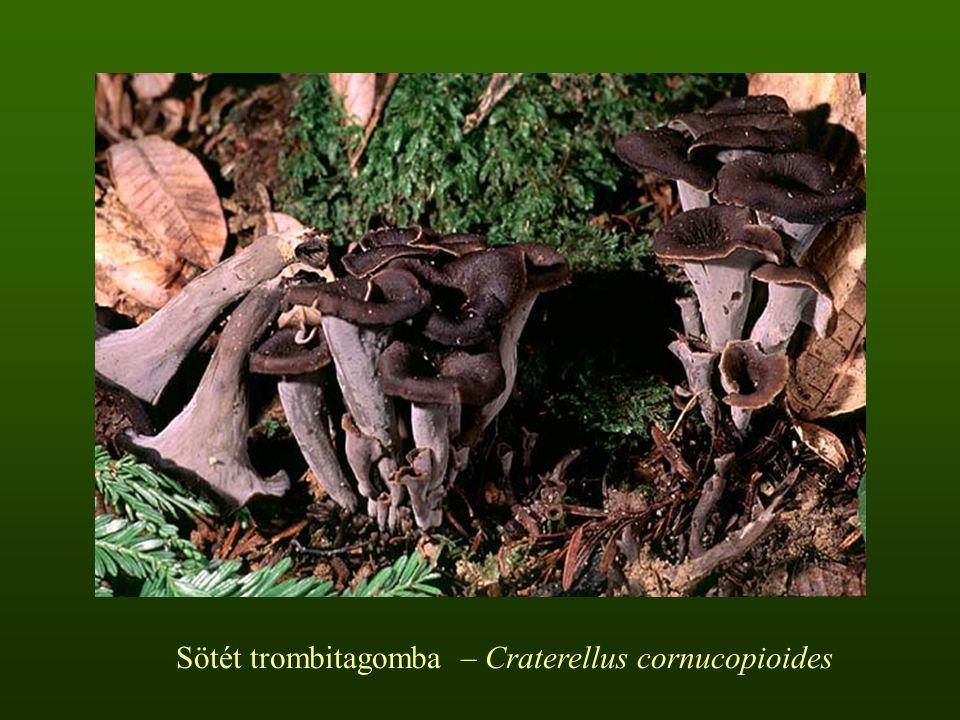Sötét trombitagomba – Craterellus cornucopioides