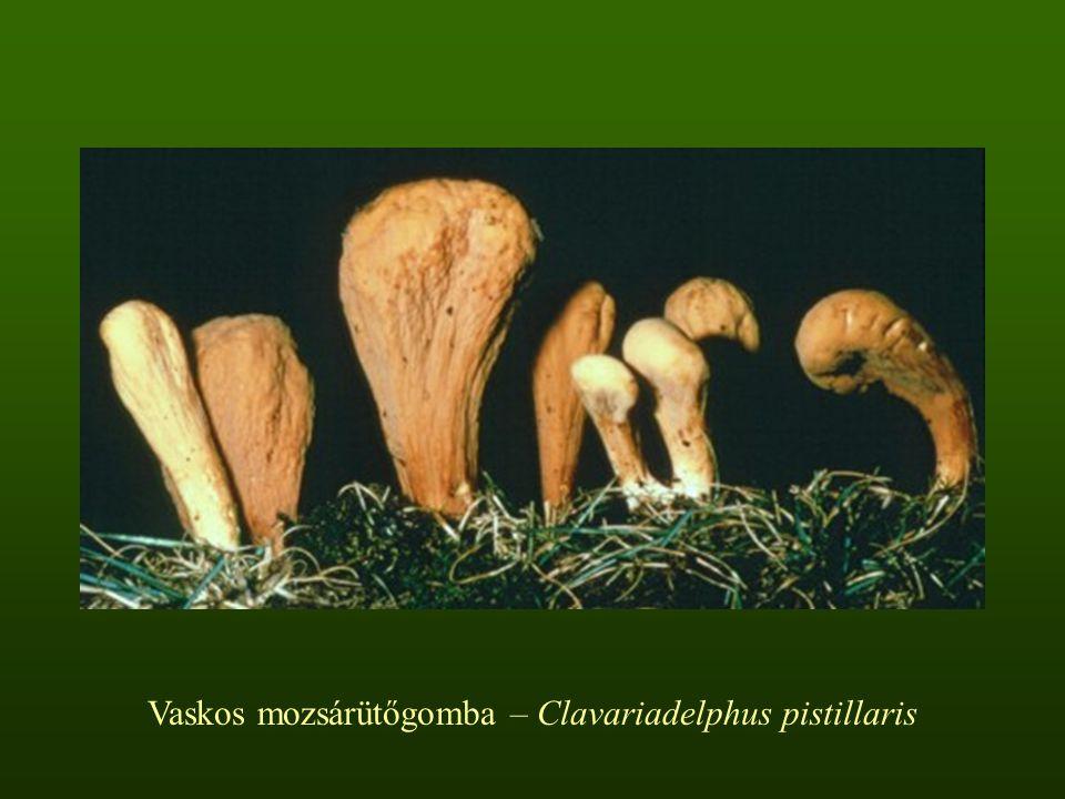 Vaskos mozsárütőgomba – Clavariadelphus pistillaris
