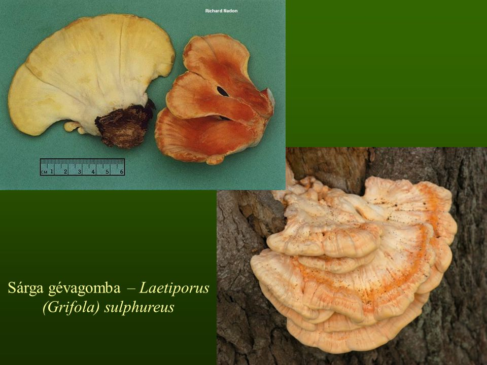 Sárga gévagomba – Laetiporus (Grifola) sulphureus