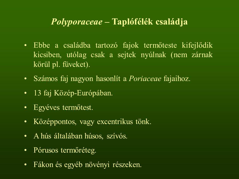Polyporaceae – Taplófélék családja