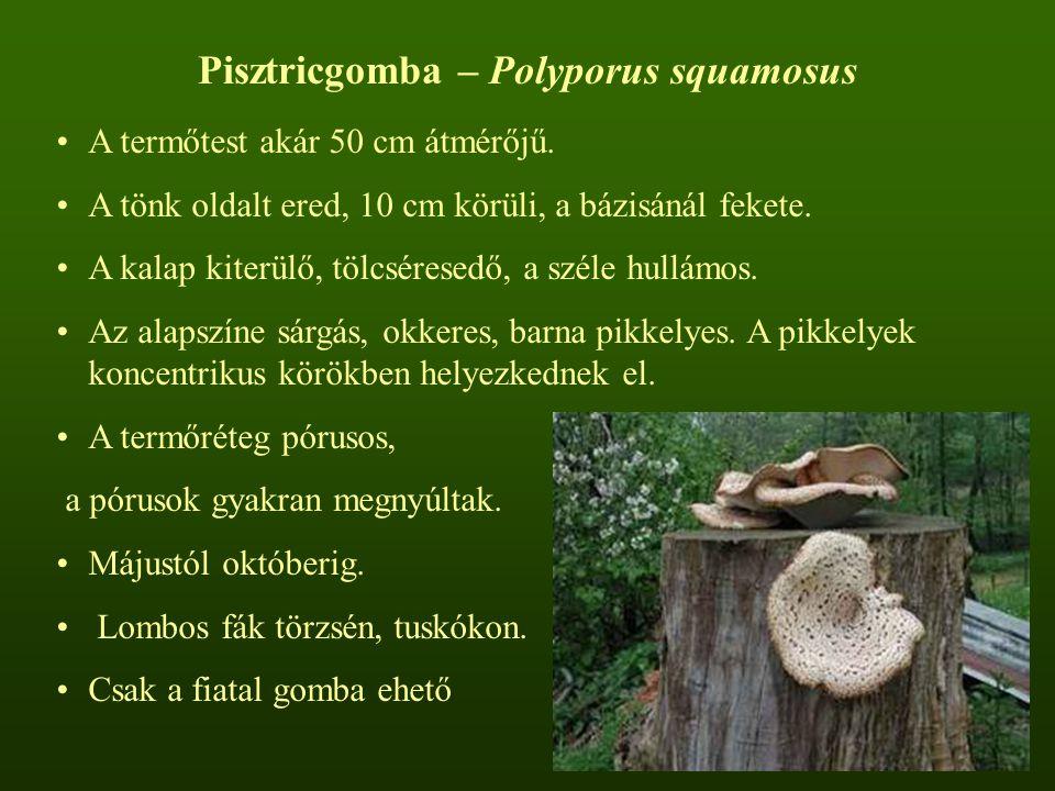 Pisztricgomba – Polyporus squamosus