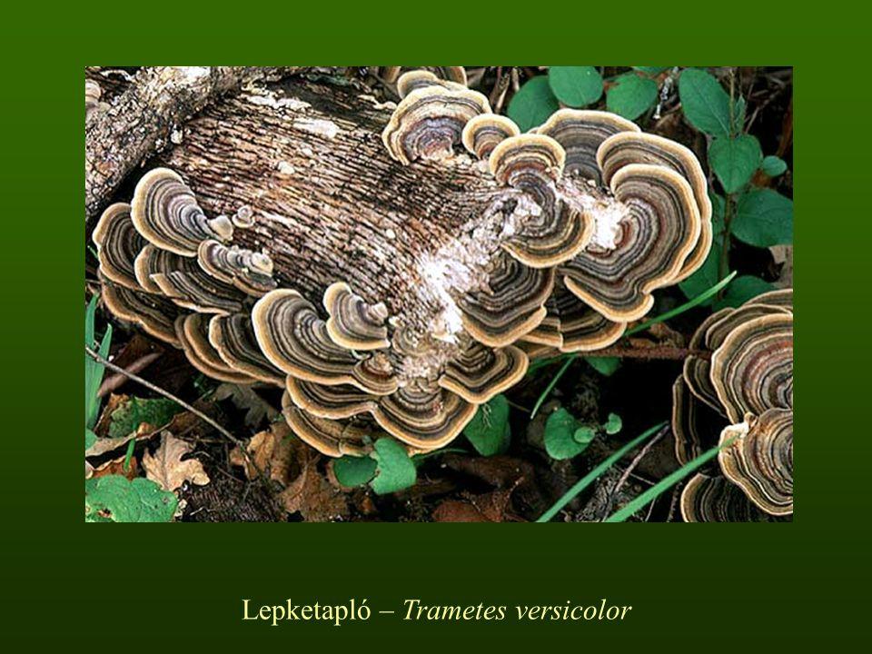 Lepketapló – Trametes versicolor