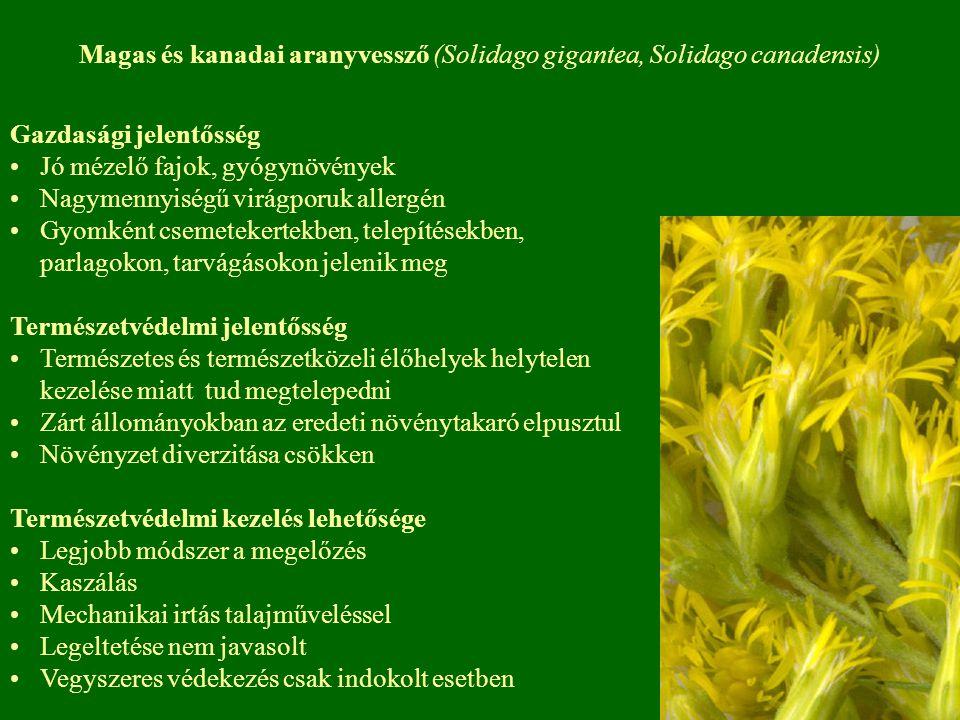 Magas és kanadai aranyvessző (Solidago gigantea, Solidago canadensis)