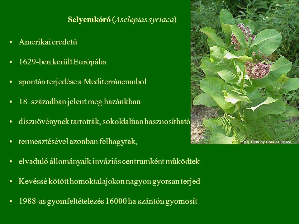 Selyemkóró (Asclepias syriaca)