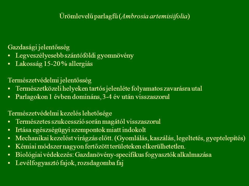 Ürömlevelű parlagfű (Ambrosia artemisiifolia)