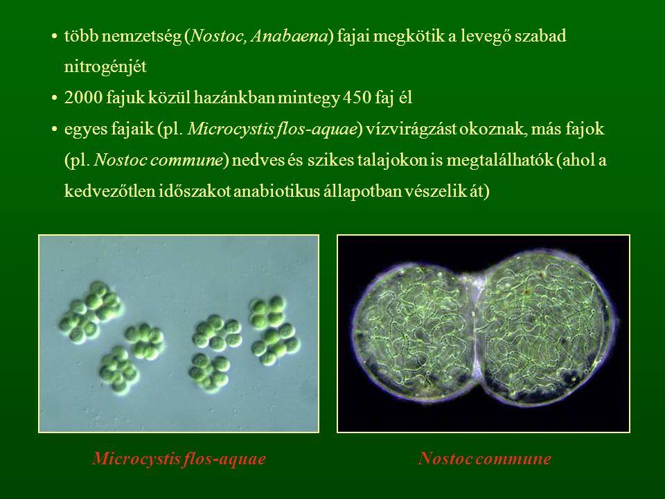 Microcystis flos-aquae