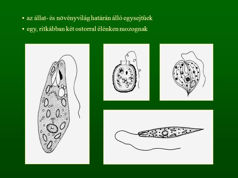 az állat- és növényvilág határán álló egysejtűek