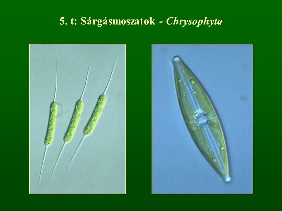 5. t: Sárgásmoszatok - Chrysophyta