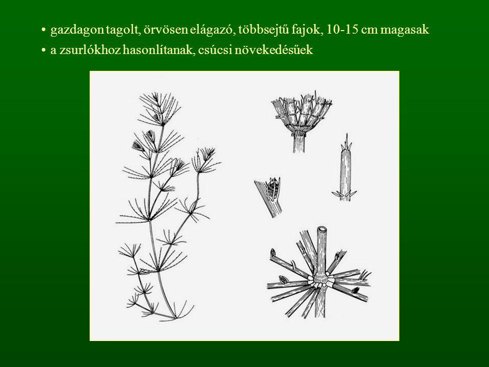 gazdagon tagolt, örvösen elágazó, többsejtű fajok, 10-15 cm magasak
