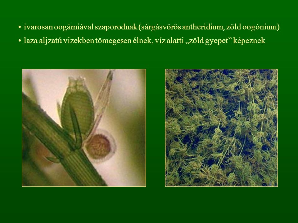 ivarosan oogámiával szaporodnak (sárgásvörös antheridium, zöld oogónium)