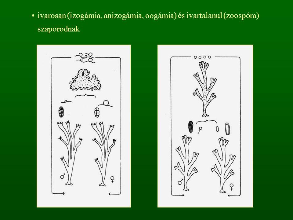 ivarosan (izogámia, anizogámia, oogámia) és ivartalanul (zoospóra) szaporodnak