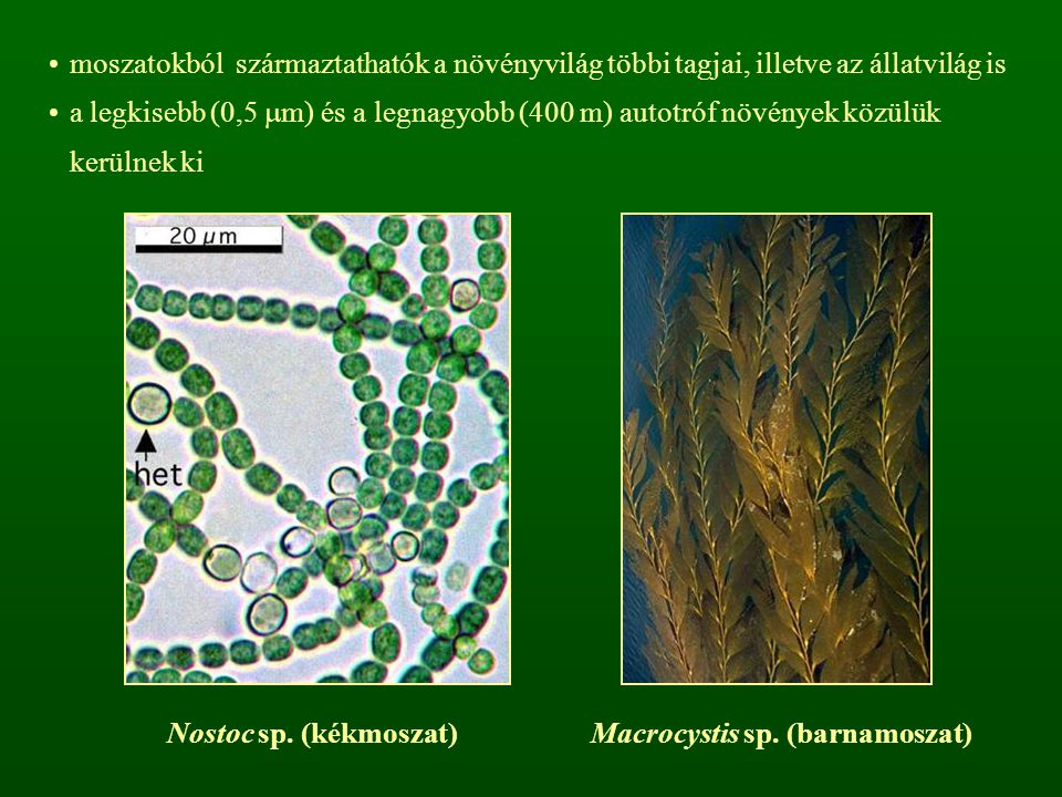 Macrocystis sp. (barnamoszat)