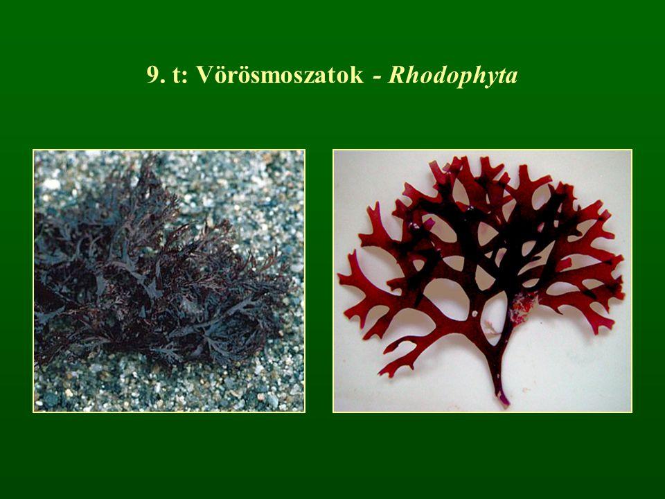 9. t: Vörösmoszatok - Rhodophyta