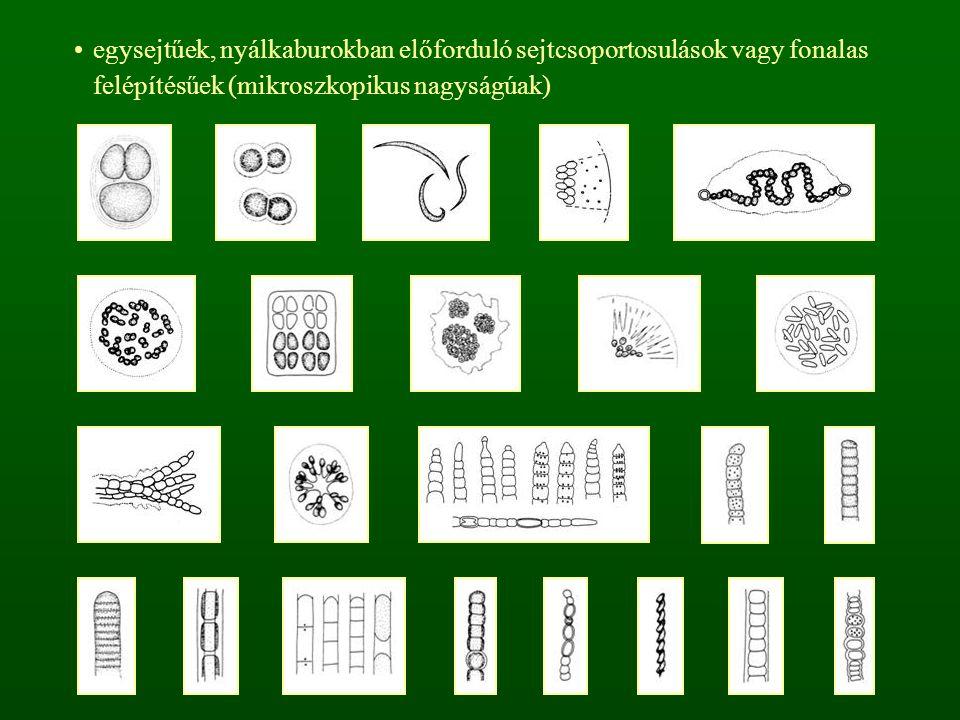 egysejtűek, nyálkaburokban előforduló sejtcsoportosulások vagy fonalas felépítésűek (mikroszkopikus nagyságúak)