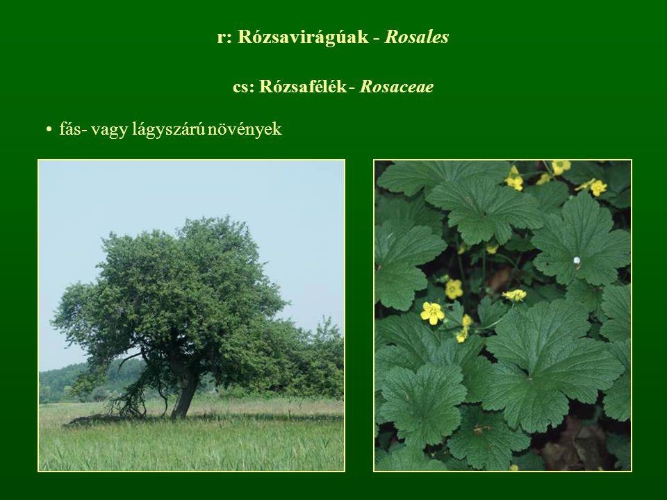 r: Rózsavirágúak - Rosales