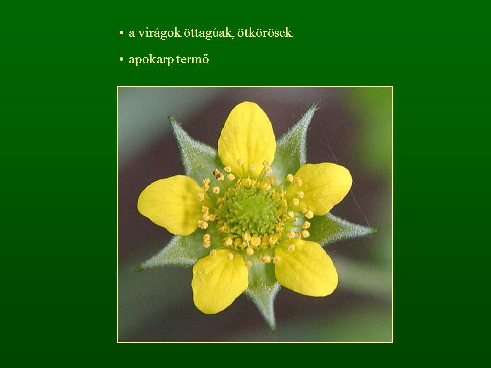 a virágok öttagúak, ötkörösek