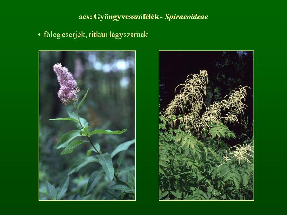 acs: Gyöngyvesszőfélék - Spiraeoideae