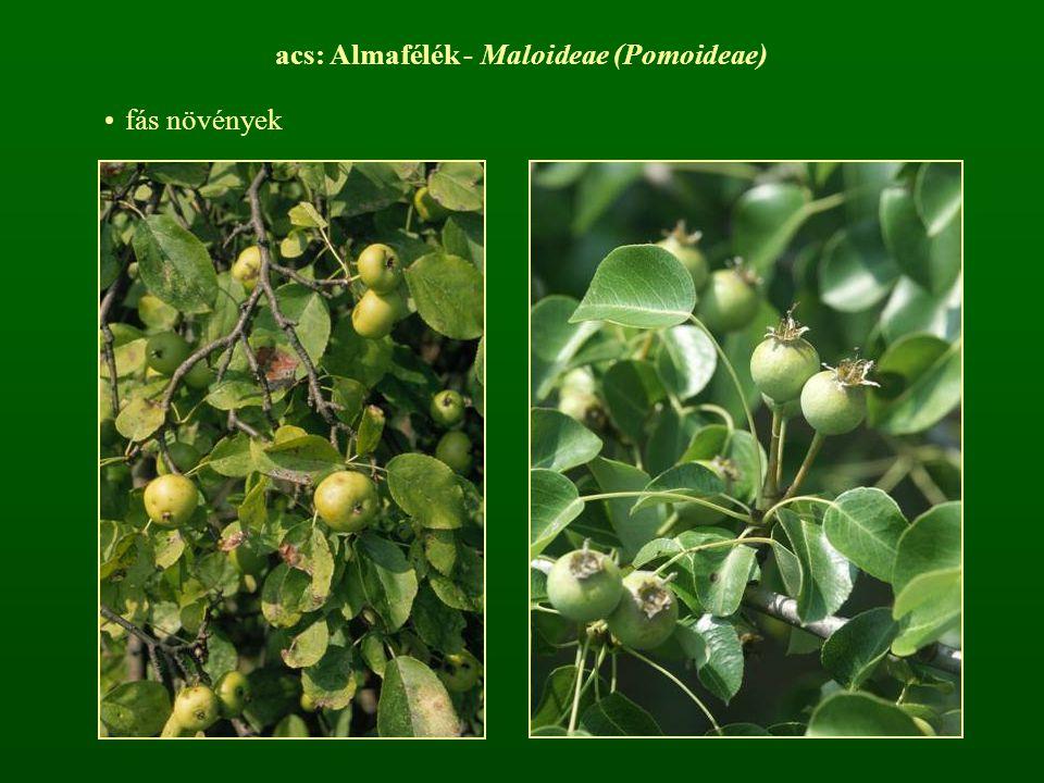 acs: Almafélék - Maloideae (Pomoideae)
