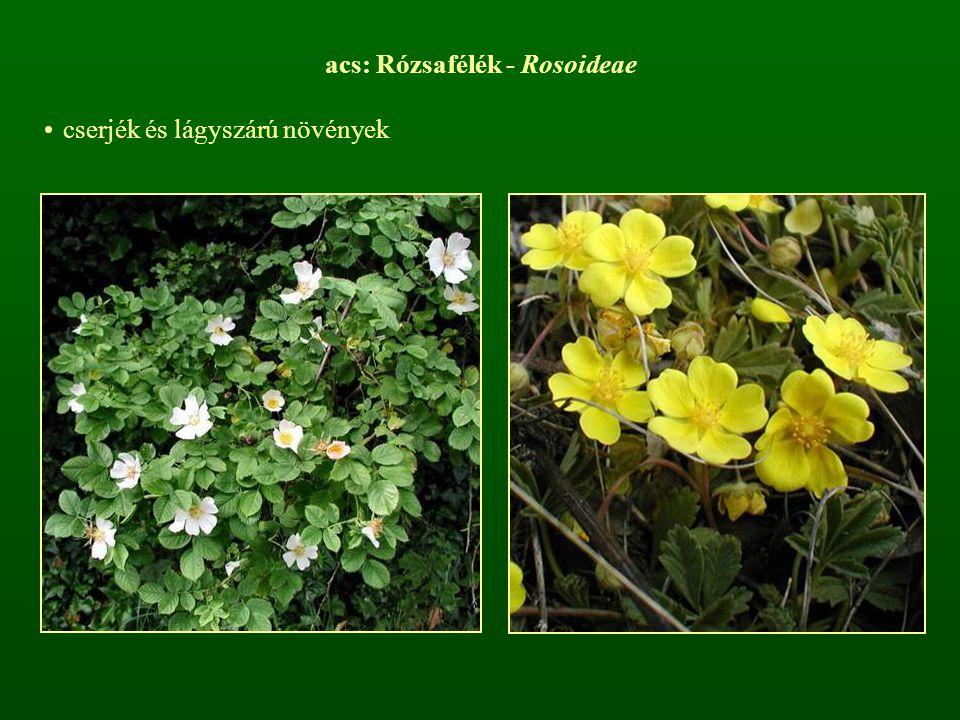 acs: Rózsafélék - Rosoideae