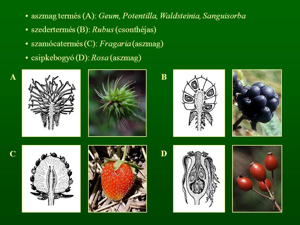 aszmag termés (A): Geum, Potentilla, Waldsteinia, Sanguisorba