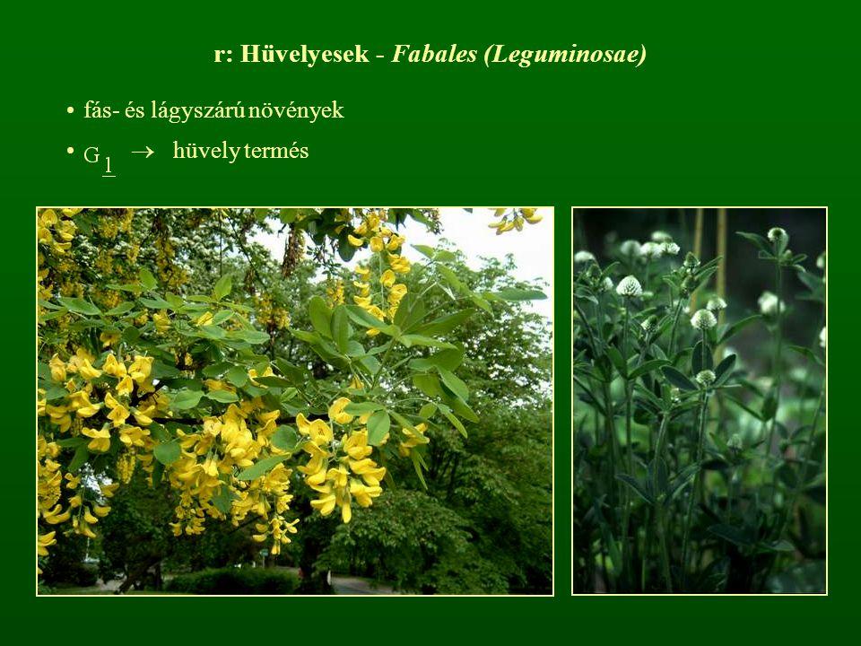 r: Hüvelyesek - Fabales (Leguminosae)
