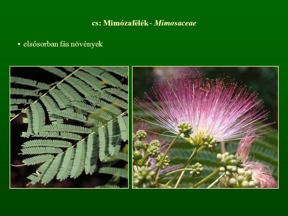 cs: Mimózafélék - Mimosaceae