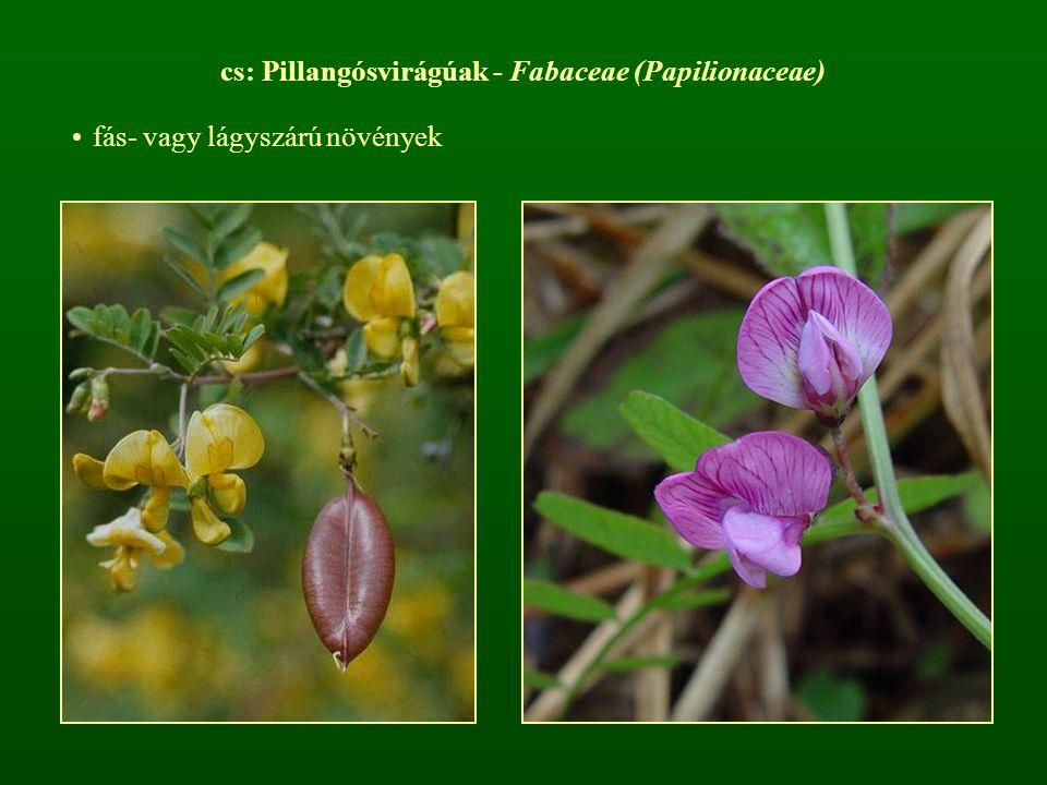 cs: Pillangósvirágúak - Fabaceae (Papilionaceae)