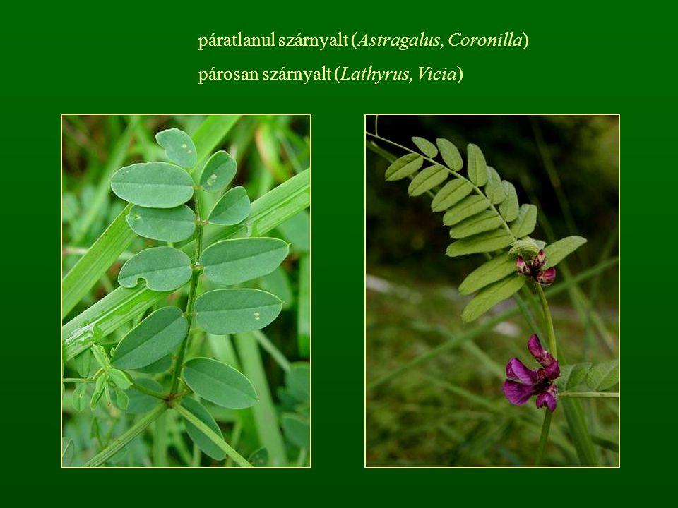 páratlanul szárnyalt (Astragalus, Coronilla)