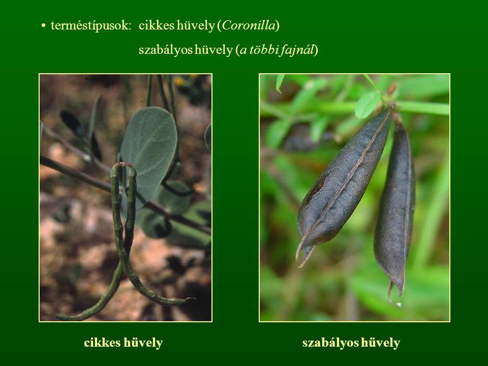 terméstípusok: cikkes hüvely (Coronilla)