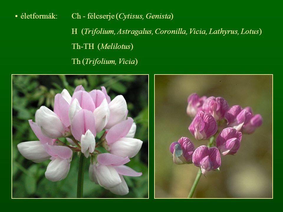 életformák: Ch - félcserje (Cytisus, Genista)
