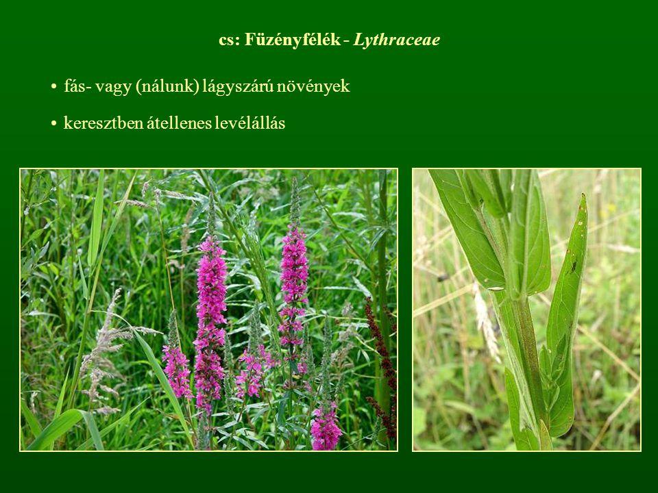 cs: Füzényfélék - Lythraceae
