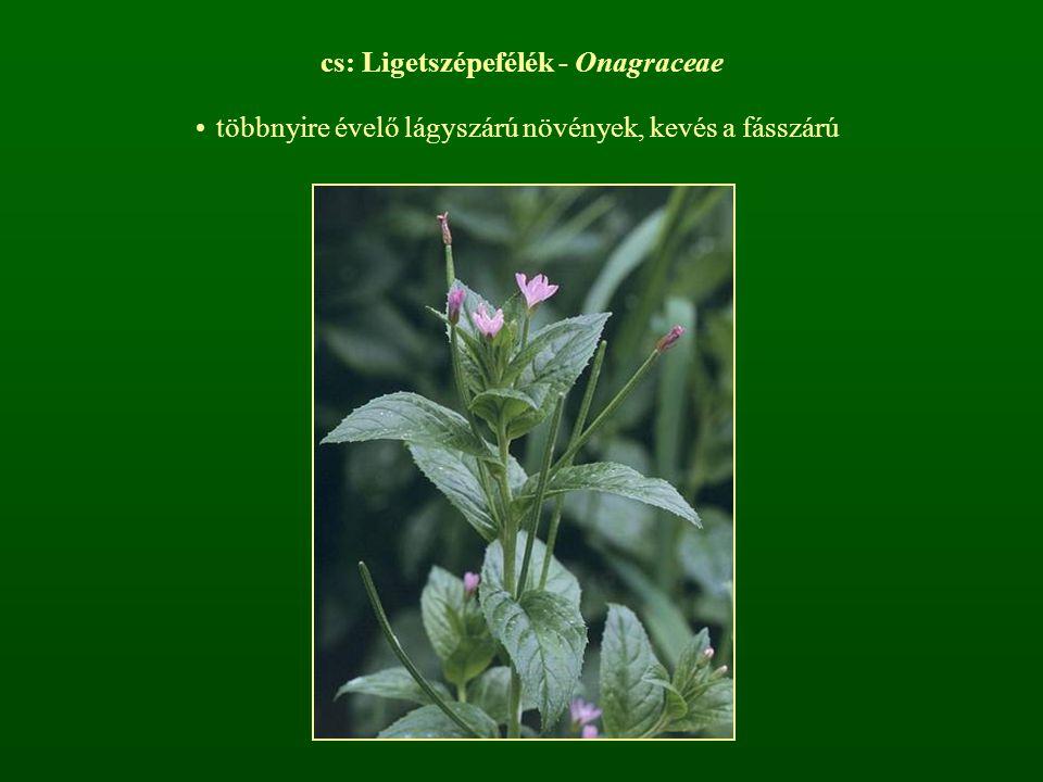 cs: Ligetszépefélék - Onagraceae