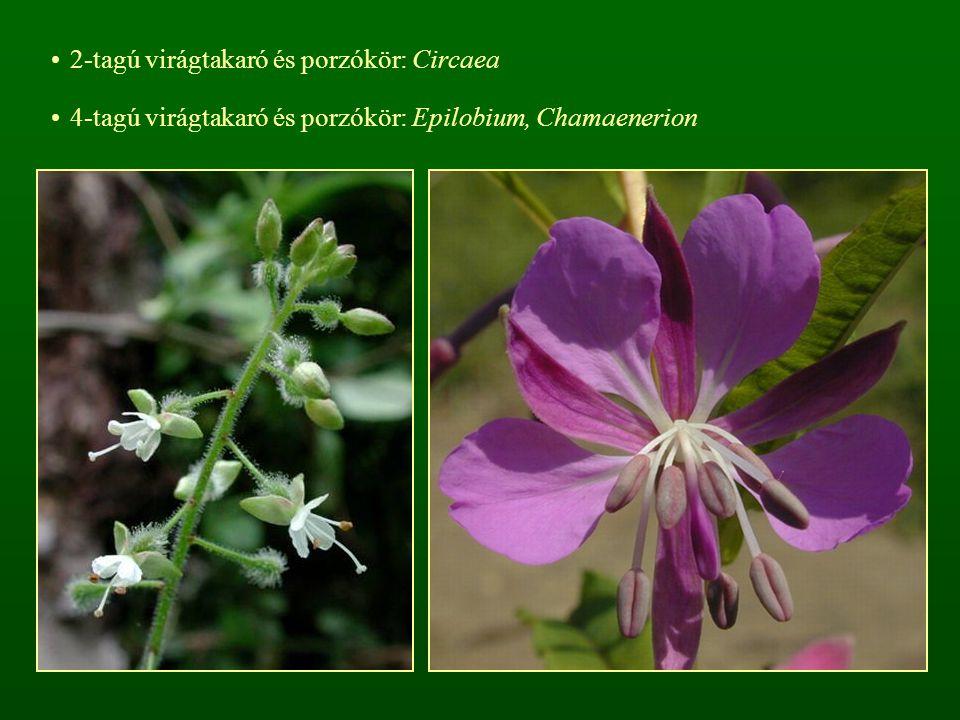 2-tagú virágtakaró és porzókör: Circaea