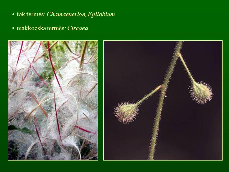 tok termés: Chamaenerion, Epilobium