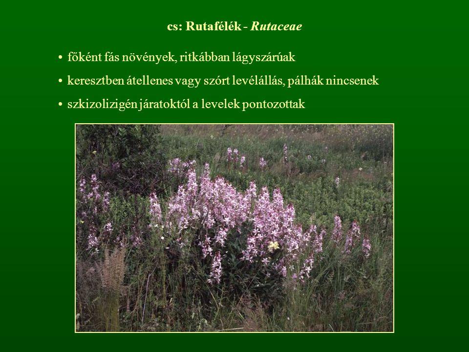 cs: Rutafélék - Rutaceae